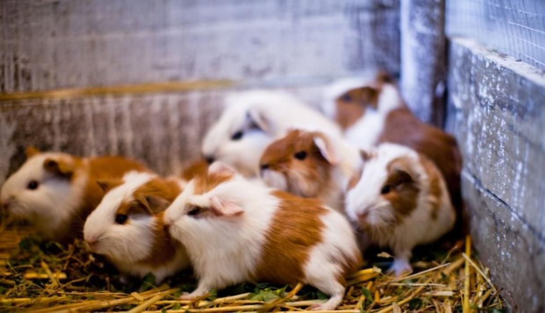 Perú es líder en producción y mejoramiento genético de cuyes