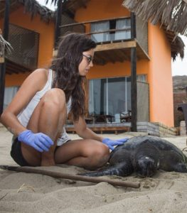 Volunteering with Sea Turtle Preservation Opportunity