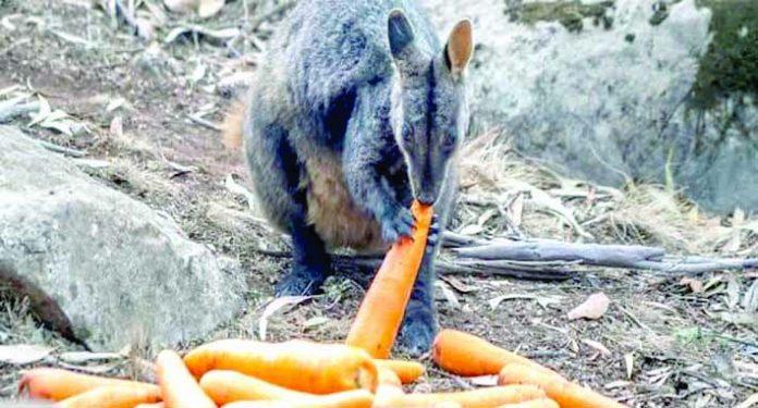 Lanzan alimentos para la fauna de Australia afectada por el fuego