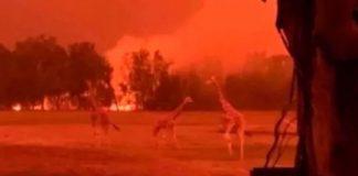 500 millones de animales muertos por incendio en Australia