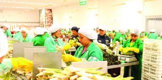 Perú es ahora el primer exportador mundial de arándanos