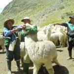 Urgen mayor integración de alpaqueros para elevar exportación de fibra de alpaca