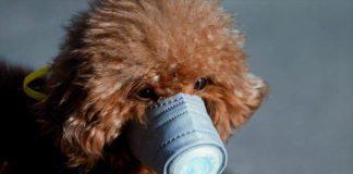 Perro muere en China tras detectarle coronavirus.