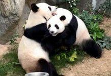 Hay esperanza de que estos pandas logren reproducirse.
