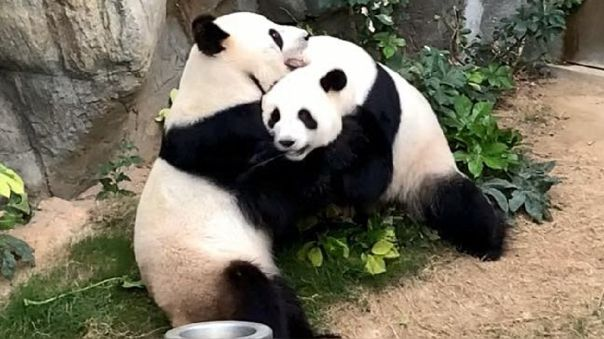 Dos pandas se aparean por primera vez gracias a la cuarentena