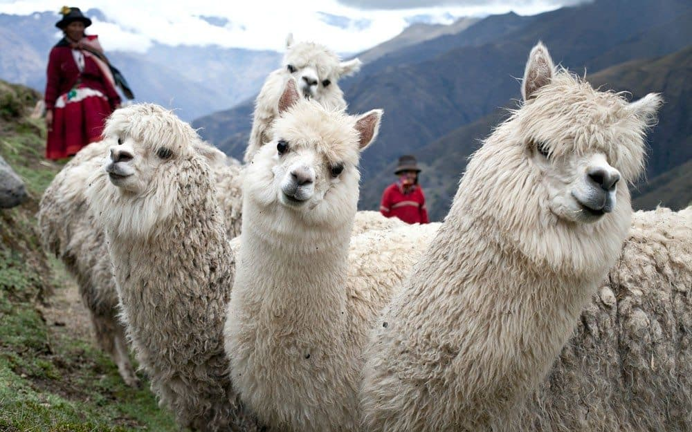 Perú celebró ayer el Día de la Alpaca