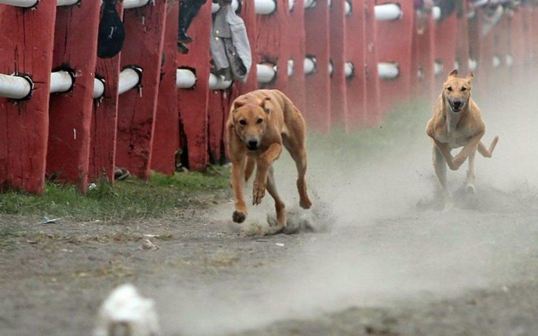 Chile no aprobó proyecto que eliminaba las carreras de perros